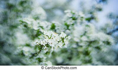 flor, cereja, sazonal, flores, árvore, bonito, branca, fundos, primavera