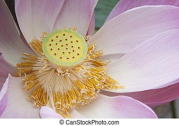 flor cor-de-rosa, cima, água, fim, lilly