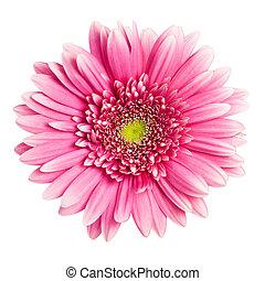 flor cor-de-rosa, isolado, fundo, branca, gerbera