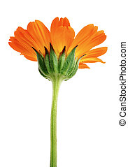 flor, isolado, talo longo, verde, laranja