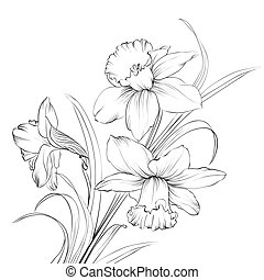 flor, narciso, isolado, white., narcissus, ou
