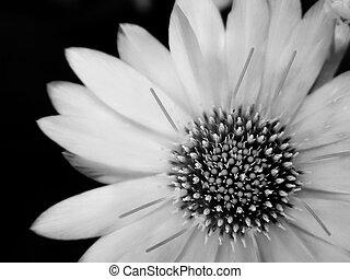 flor, preto-e-branco