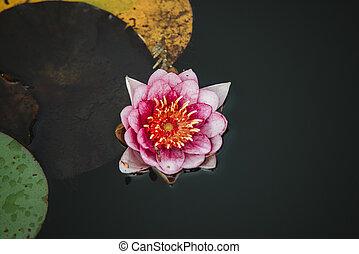 flor, tampe cima, água, fim, lilly, vista