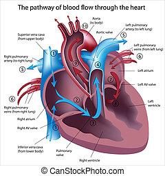 fluxo, através, sangue, coração