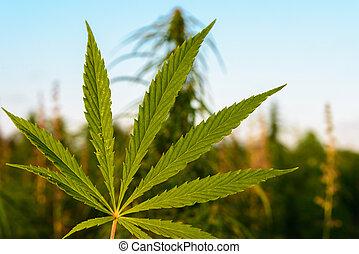 folha verde, marijuana
