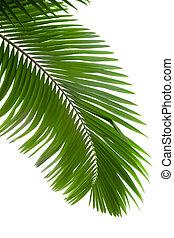 folhas, árvore palma
