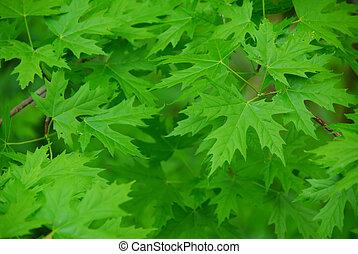 folhas, fundo, verde