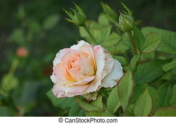 folhas, pétalas, verde, rosa, bushy, bonito, close-up., rosas, cor-de-rosa, bege