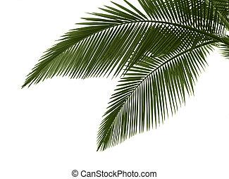 folhas, palma, fundo, branca