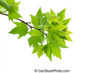 folhas, verde, maple, ramo