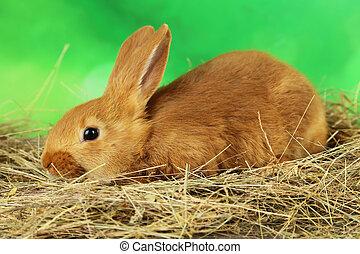 fundo, jovem, feno, verde, coelho, vermelho