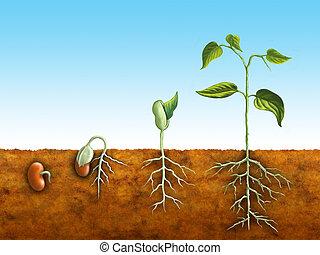 germinação, semente