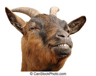 goat?s, marrom, sorriso, cute