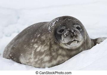 grande, poço, neve, selos, weddell, filhote cachorro, mentindo