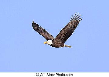 (haliaeetus, águia, calvo, adulto, leucocephalus)