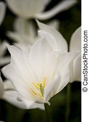 impressionante, macro, tulips, imagem, cima, luminoso, primavera, fim, branca