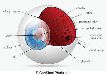 interno, estrutura olho, human