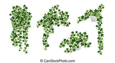 isolado, penduradas, inglês, branca, branches., videiras, plantas, hedera, pote, realístico, escalando, liana, creeper, verde, hera, ilustração, houseplants, vetorial, experiência.