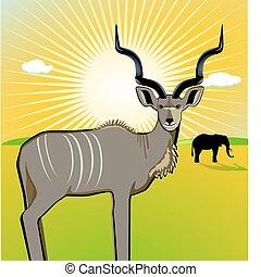 kudu, macho