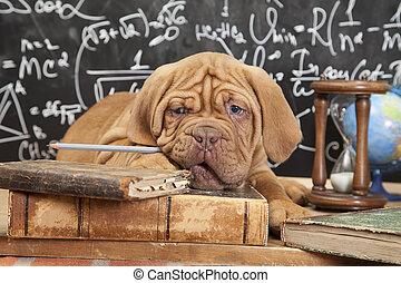 livros, mastiff, filhote cachorro, francês