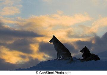 lobos, (dogs), silhuetas, dois