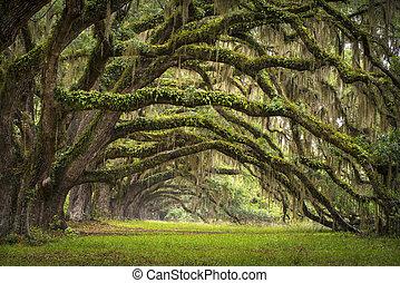 lowcountry, ás, paisagem, carvalho, árvores, plantação, viver, floresta, sc, charleston, carvalhos, avenida, bacia, carolina sul