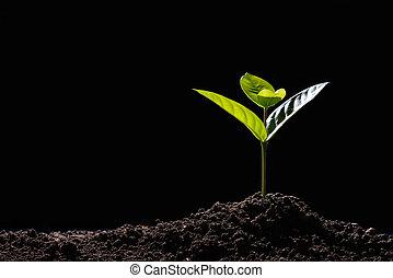 luz, manhã, brotos, experiência preta, solo, crescendo, verde, saída