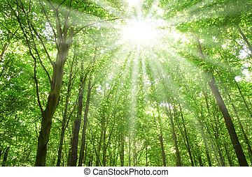 luz solar, floresta, árvores