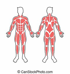 músculos, vetorial, corpo masculino