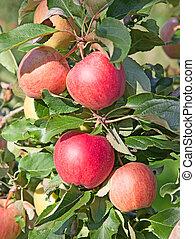 maçã, jardim