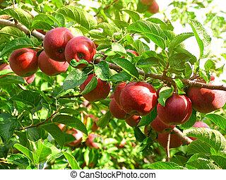 maçãs, pomar, vermelho