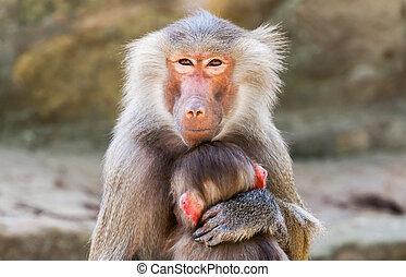 macaco, criança, braços, dela, mãe