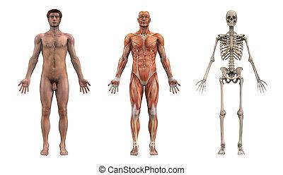 macho, anatômico, overlays, -, adulto