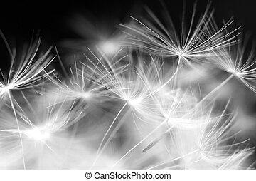 macro, beleza, dandelion