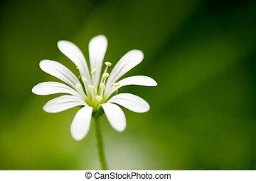 macro, flor branca