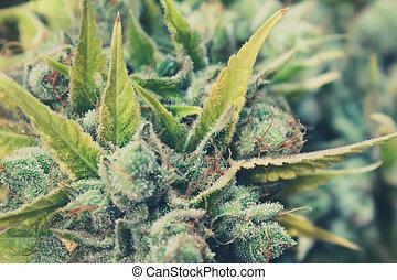 macro, marihuana, marijuana, closeup, broto