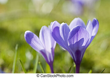 macro, profundidade, cima, fresco, raso, fim, açafrão, flor, primavera