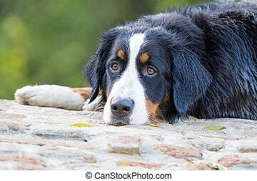 montanha, bernese, cão, retrato