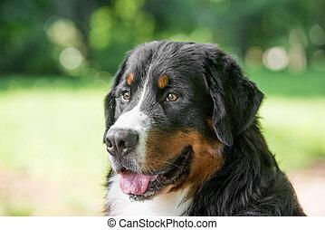 montanha, bouvier, cão, bernese, ao ar livre, retrato