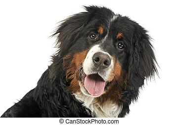 montanha, foto, cão, bernese, estúdio, retrato, branca