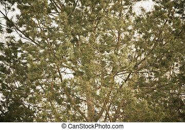 muitos, close-up., árvore coniferous, branches., para sempre, coroa, concept., verde