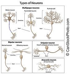 neurônios, tipos