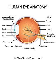 olho, anatomia, human