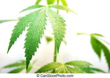 orvalhoso, folha, marijuana