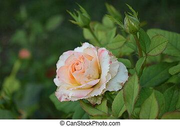 pétalas, bonito, verde, bege, close-up., bushy, cor-de-rosa, folhas, rosa, rosas