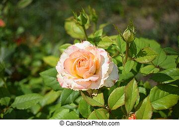 pétalas, bushy, verde sai, close-up., bege, rosas, rosa, cor-de-rosa, bonito