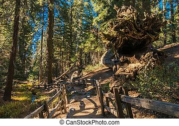 park., rastro, nacional, sequoia, hiking