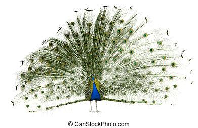 peafowl índio