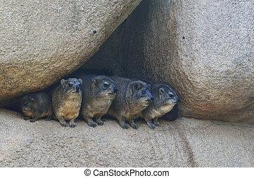 pedras, observar, world., quatro, mamíferos