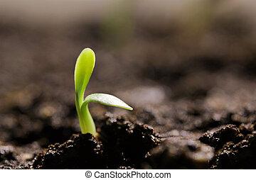 pequeno, chão, verde, seedling